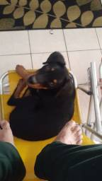 Cachorro rottweiler filhote