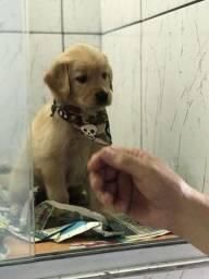 Golden Retriever garantias contra displasia e suporte veterinário gratuito (11) 2670-7784
