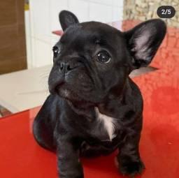 Lindo filhote de bulldog francês macho com pedigree cbkc.