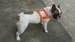 Bulldog francês femia