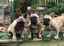 Bulldog Frances- filhotes 4 meses - machos