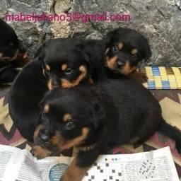 Adoráveis ??filhotes de Rottweiler prontos para novas casas