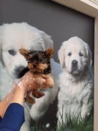 Filhotinhos de Yorkshire Terrier. O Melhor Padrão da Raça!