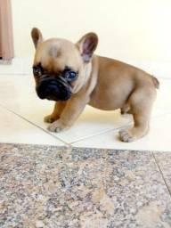 Lindo filhote macho de bulldog francês