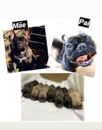 Filhote bulldog francês com pedigree