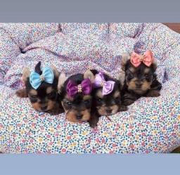 Título do anúncio: Lindos filhotinhos de yorkshire terrier disponíveis a pronta entrega