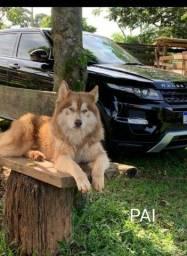Husky Siberiano disponível para cobertura