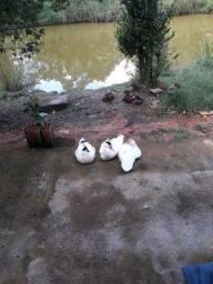 Patos a venda