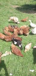 Galinha, patos, marrecos e peru