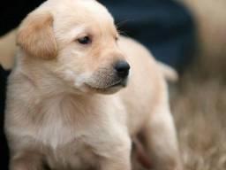Labrador Filhotes Machos Pedigree & Garantia de saúde