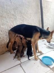 Filhotes de pastor alemão