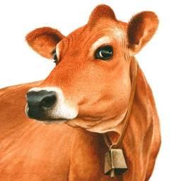 Leilão de duas vacas