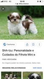 Compro Shih Tzu até 500,00