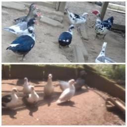 Lote de patos