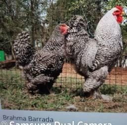 Ovos galados de brahma barrada a dúzia