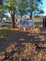 Vaca parida troca