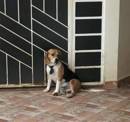 Procuro namorada-beagle
