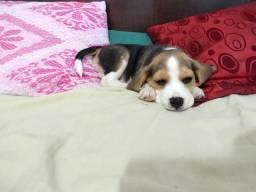 Filhote da raça Beagle Fêmea