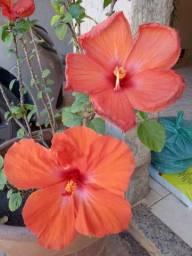 Linda Planta Hibiscus Laranja