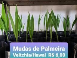 Muda de Palmeira veitchia/hawai