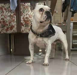 Bulldog Francês - (Cruza)