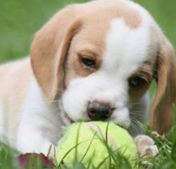 Belos beagle filhote porte pequeno com pedigree e microchip