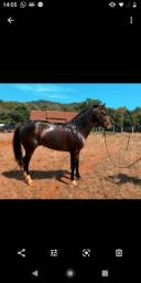 Cavalo campeiro marcha natural extra de sela