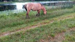 Égua gateada