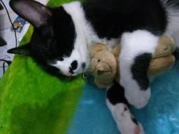Gato para adopção