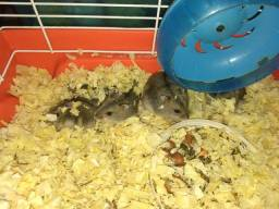 Vendo hamsters chineses
