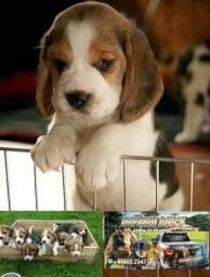 Beagle alto padrao