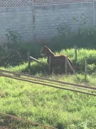 Vendo égua mangalarga paulista