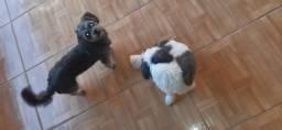 Cachorro da raça lhasa
