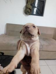 Filhotes American Bully terrier