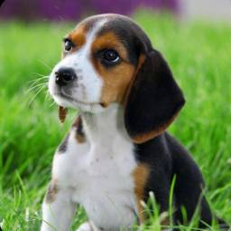 Beagle femea tricolor venha conferir