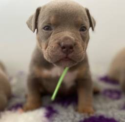 Pitbull lindos: Filhotes Fortes e com garantia!