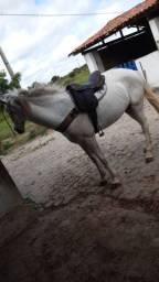 Cavalo professor de direita
