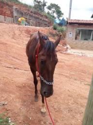 Cavalo mangalarga 5 anos marcha picada