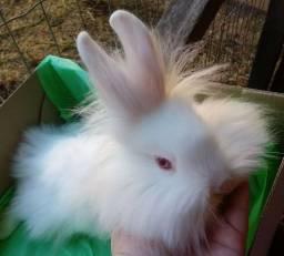 Vendo coelhos peludinhos