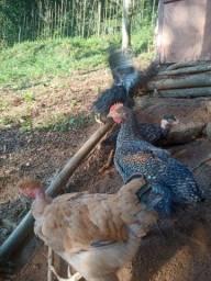Título do anúncio: Frangas e frangos isabrow label Ruge carijó 16 semana
