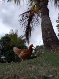 Lote de galinhas em início de postura