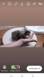 Porquinho peruano