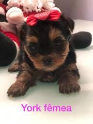 Yorkshire Terrier micro Fêmea levamos essa princesa ate você
