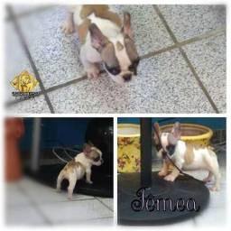 Bulldog francês fêmeas Recife