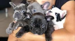 Filhotes de bulldog Francês fêmeas