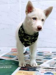 Husky Siberiano cinza/marrom/preto e branco, olhos azuis e bicolores a pronta entrega!