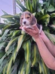 Beagle mine