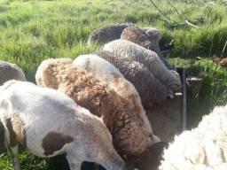 Vendo carneiros e ovelhas