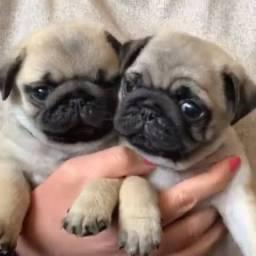 Filhotes de Pug macho e fêmea disponíveis