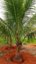 Mudas coco anao produzindo